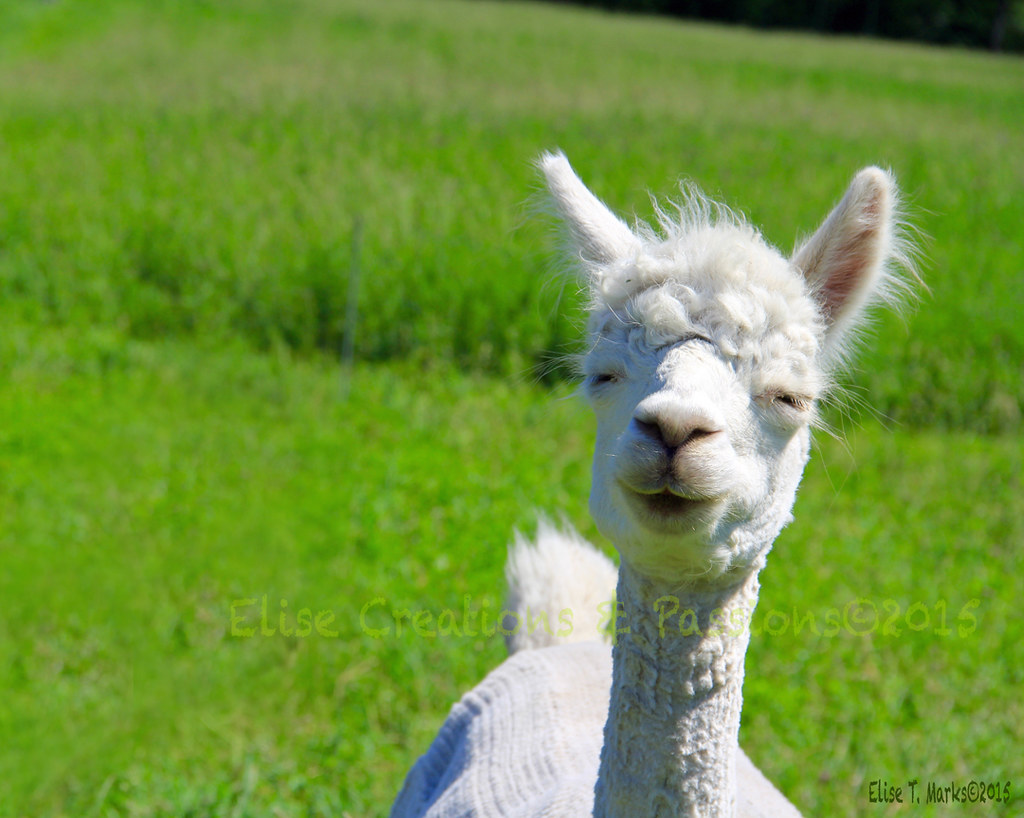 Smiling Alpaca Isabel Too | Smiling Alpaca Isabel Too ...