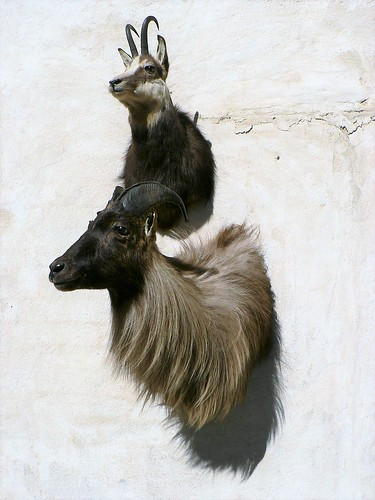 Tahr mounts