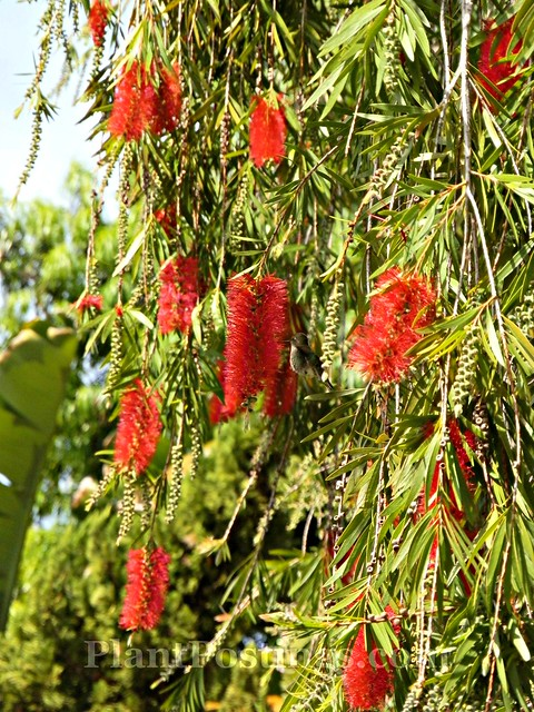 bottlebrush 3
