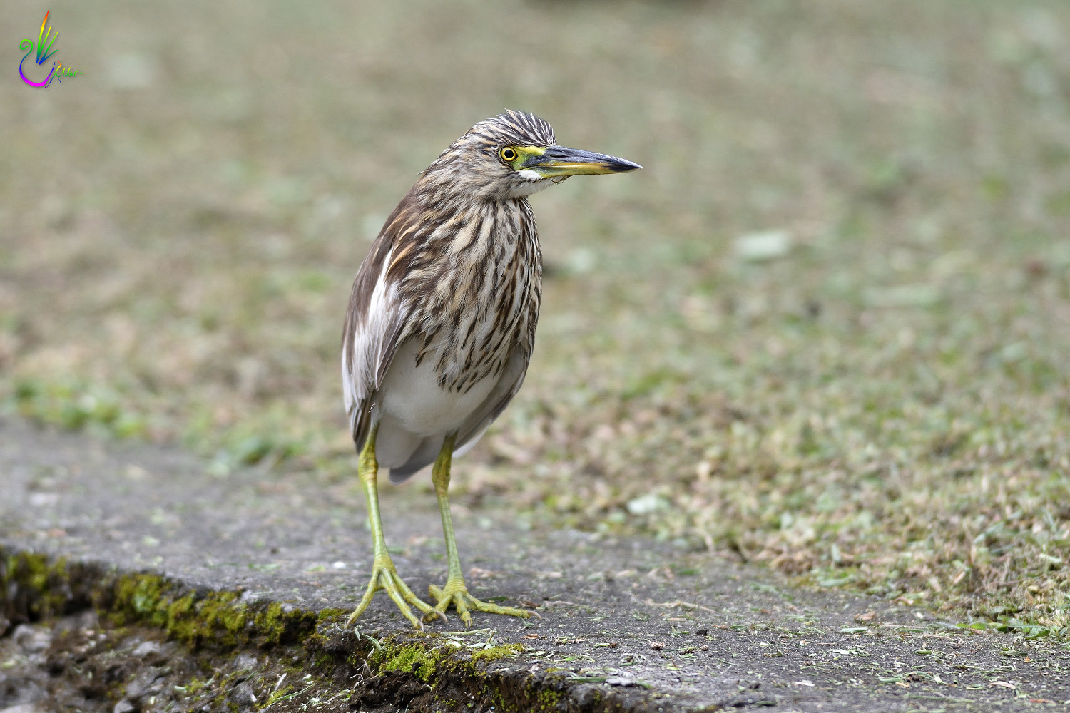 Chinese_Pond_Heron_9459