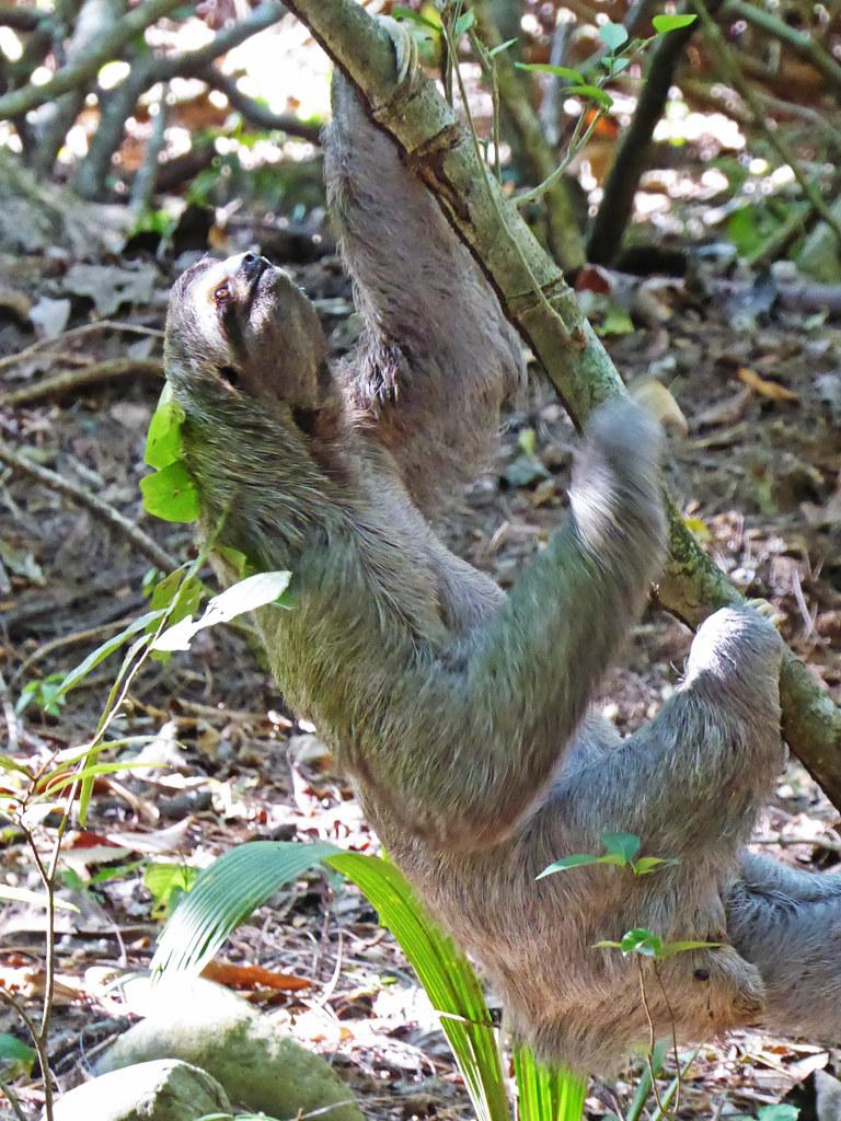 Three Toed Sloth Manuel Antonio Costa Rica Jon Huskisson Flickr