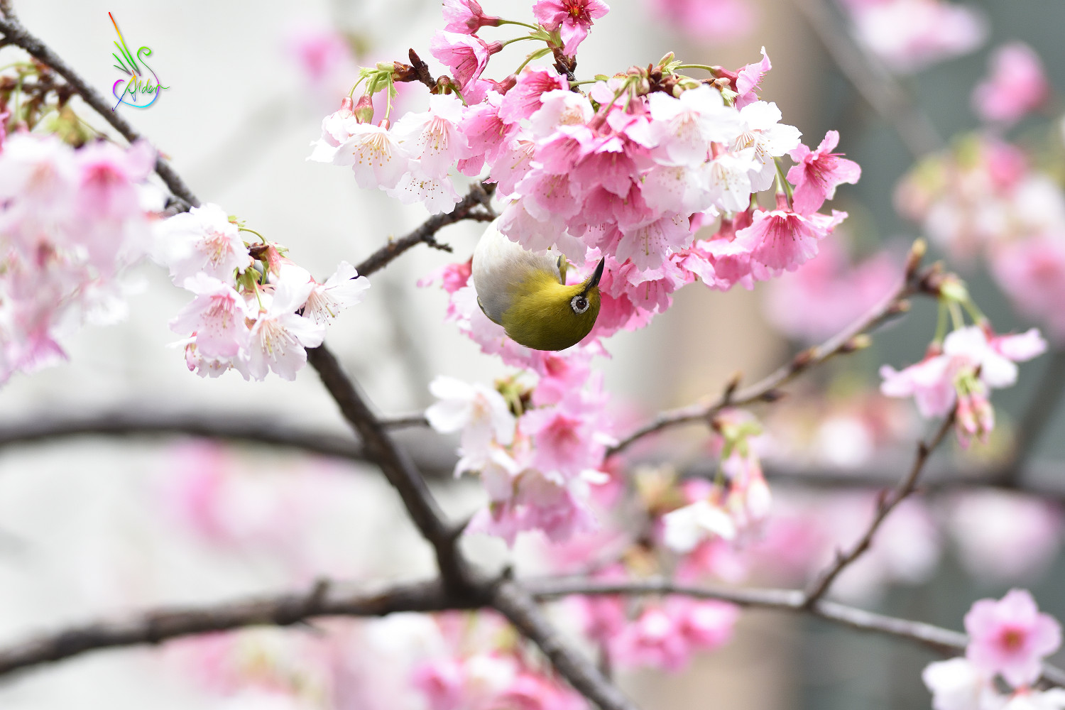 Sakura_White-eye_9975