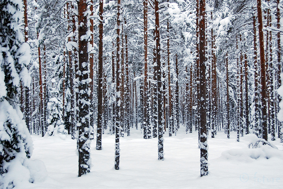 Winter, forest, pines, Kaido Rummel, Estonia