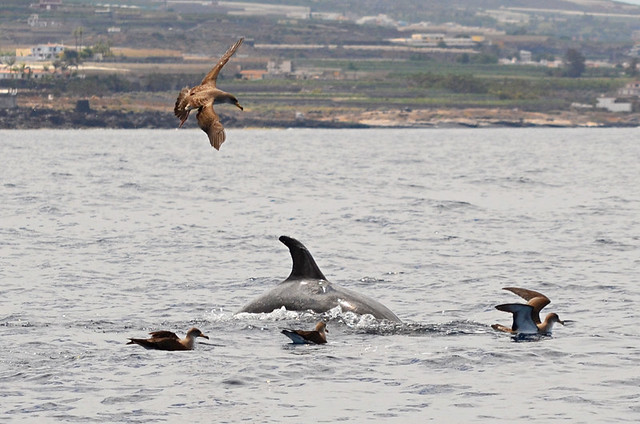 Bottlenose dolphins breaking water and shearwaters, Tenerife