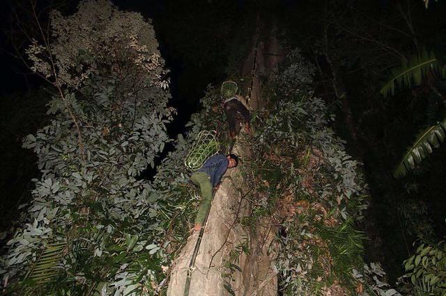 kỹ thuật trèo cây lấy mật ong rừng vào ban đêm