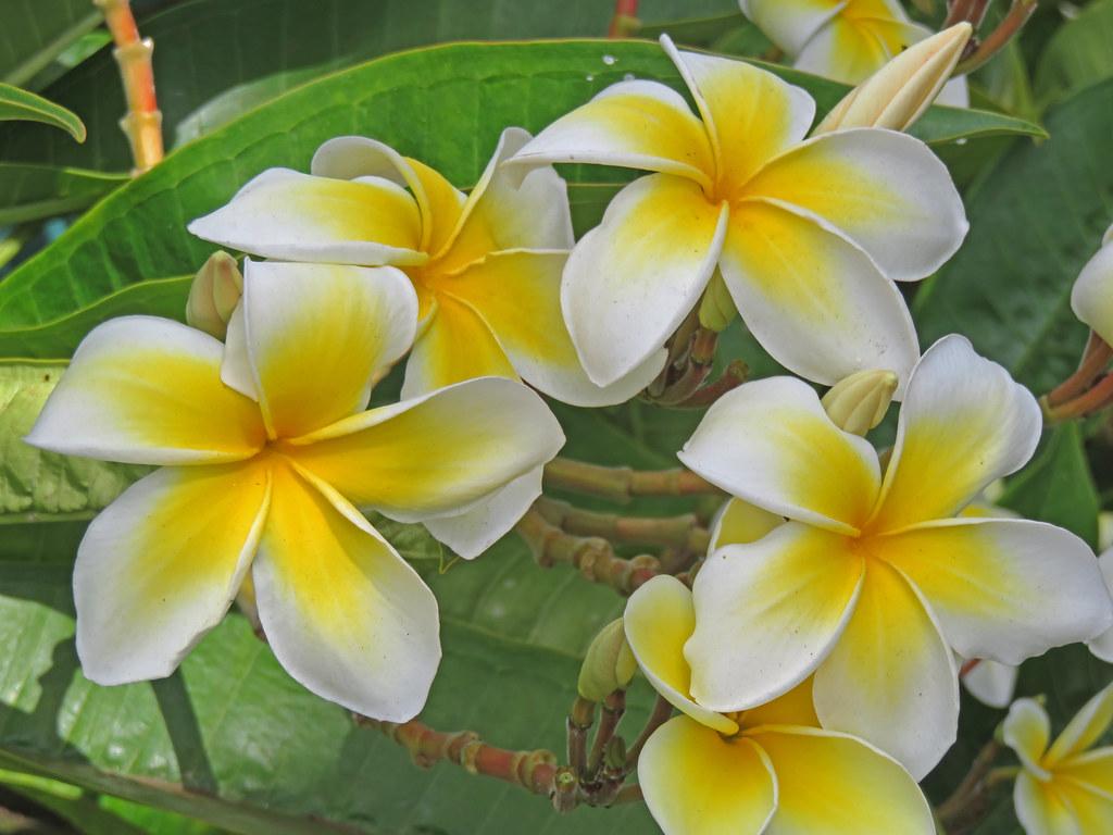 Pretty Yellow Flowers Waimea Kauai Tom Green Flickr