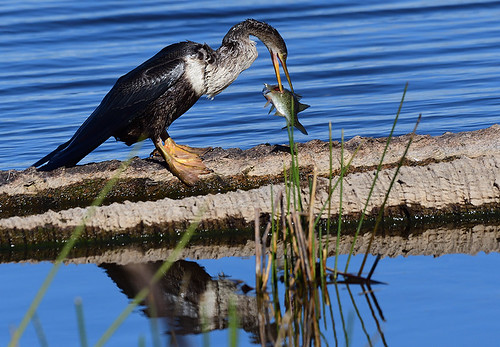 Viera Wetlands, FL: Anhinga and Lunch