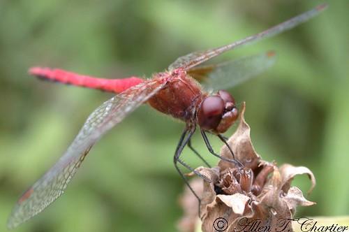 Sympetrum rubicundulum (Ruby Meadowhawk)
