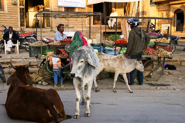 Cows at a street, Jaisalmer, India ジャイサルメールのバザールと牛