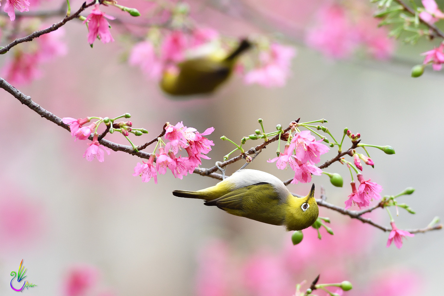 Sakura_White-eye_6289