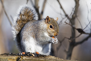 Eastern Gray Squirrel | by Brian E Kushner