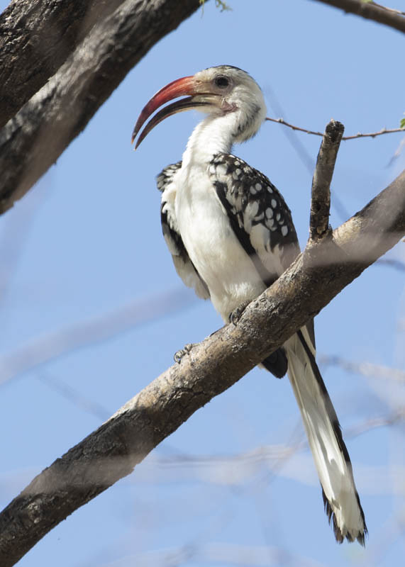 Damara Hornbill  Tockus Damarensis