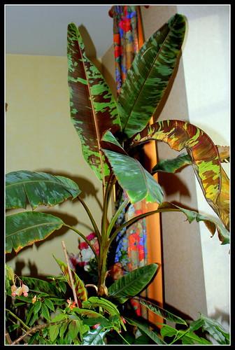 *musa* - Musa acuminata var. sumatrana - bananier de Sumatra 32585319420_e9a45dc70e