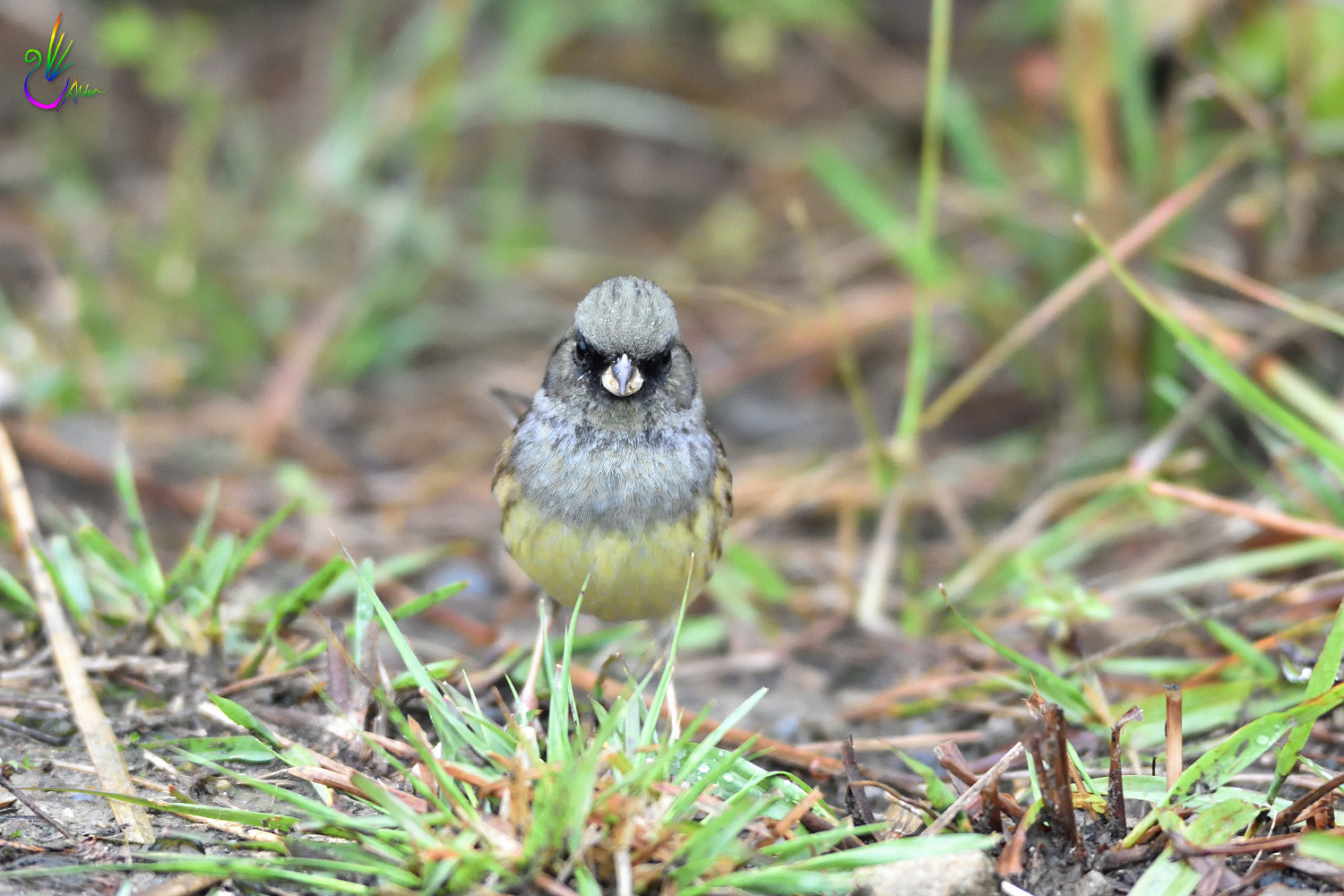 Black-faced_Bunting_7550
