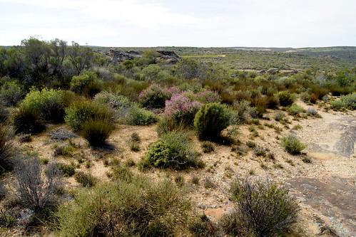 group of Pelargonium magenteum