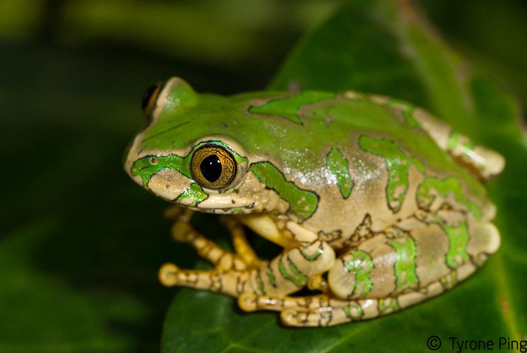 leptopelis natalensis natal forest tree frog from umnga flickr