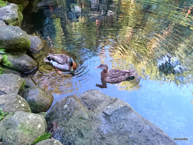 ducks in New Zealand