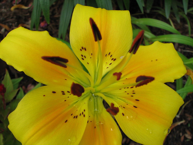 Yellow Tiger Lily In T...