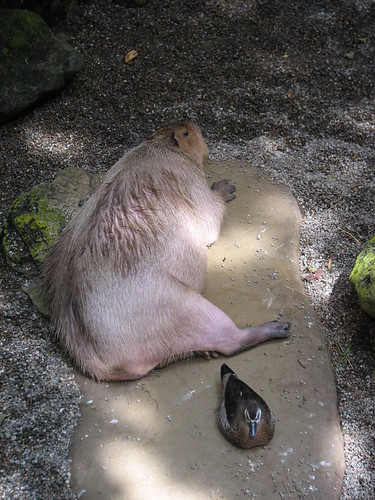 Capybara and Duck resting | by Humanoide