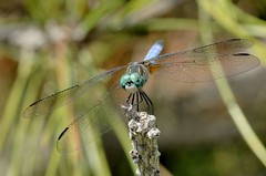 Dragonfly | by Bill Shatto