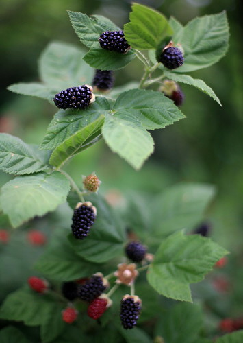 Bountiful Blackberries | by jurvetson