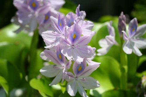 Water Hyacinths | by Clownfish