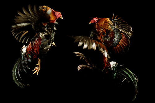 Fighting Chickens | by Juan®