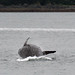 Young Humpback Whale breeching 1