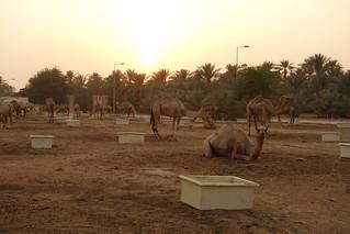 Fazenda de Camelos Real, Bahrein