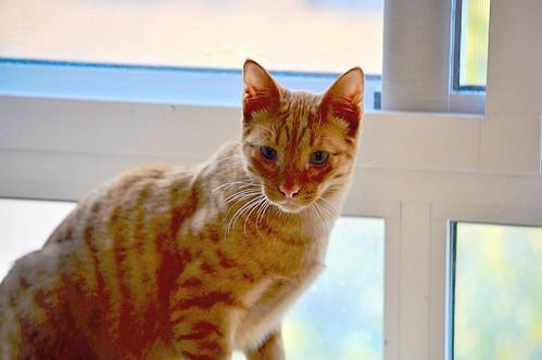 Jerry, gatito rubio guapo muy dulce y bueno, esterilizado, nacido en Abril´15 en adopción. Valencia. ADOPTADO. 23575971441_a1ef9938b3