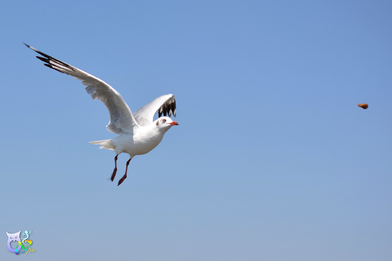 Brown-headed_Gull_2949