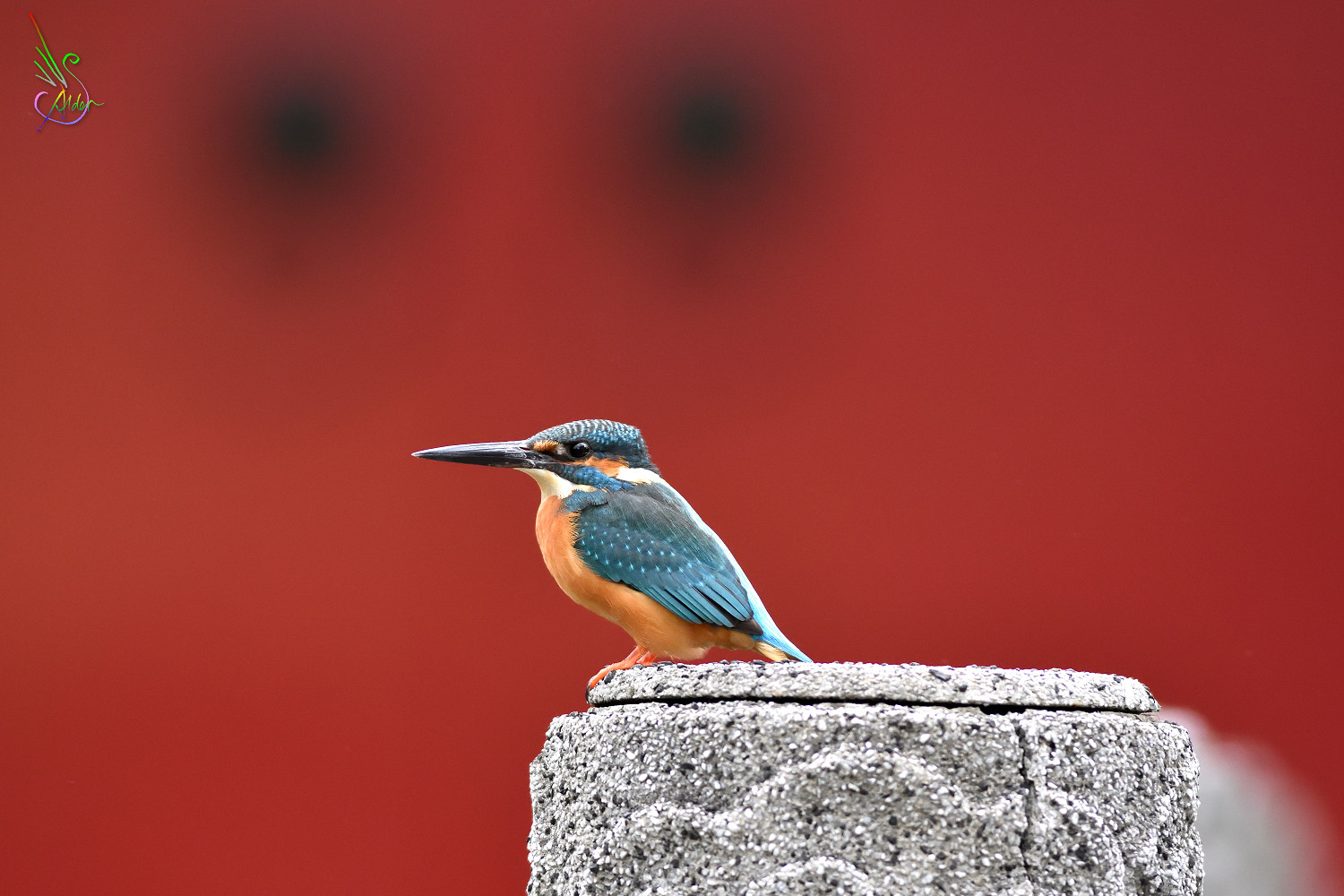 Common_Kingfisher_9183