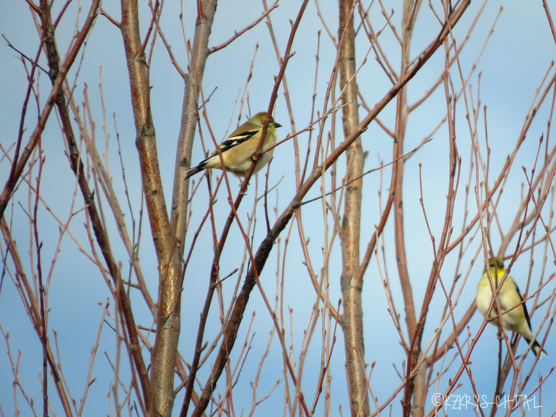 IMG_3660AmericanGoldfinches