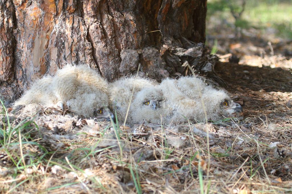 Eagle Owl owlets