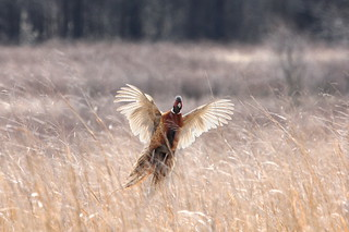 pheasant in flight | by chiptape