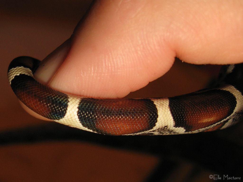 Boa constrictor constrictor   Red Tail Boa Colombian x Surin