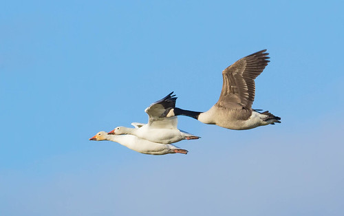 the snow geese pair big crop i went out with some. Black Bedroom Furniture Sets. Home Design Ideas