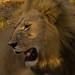 Full-maned lion