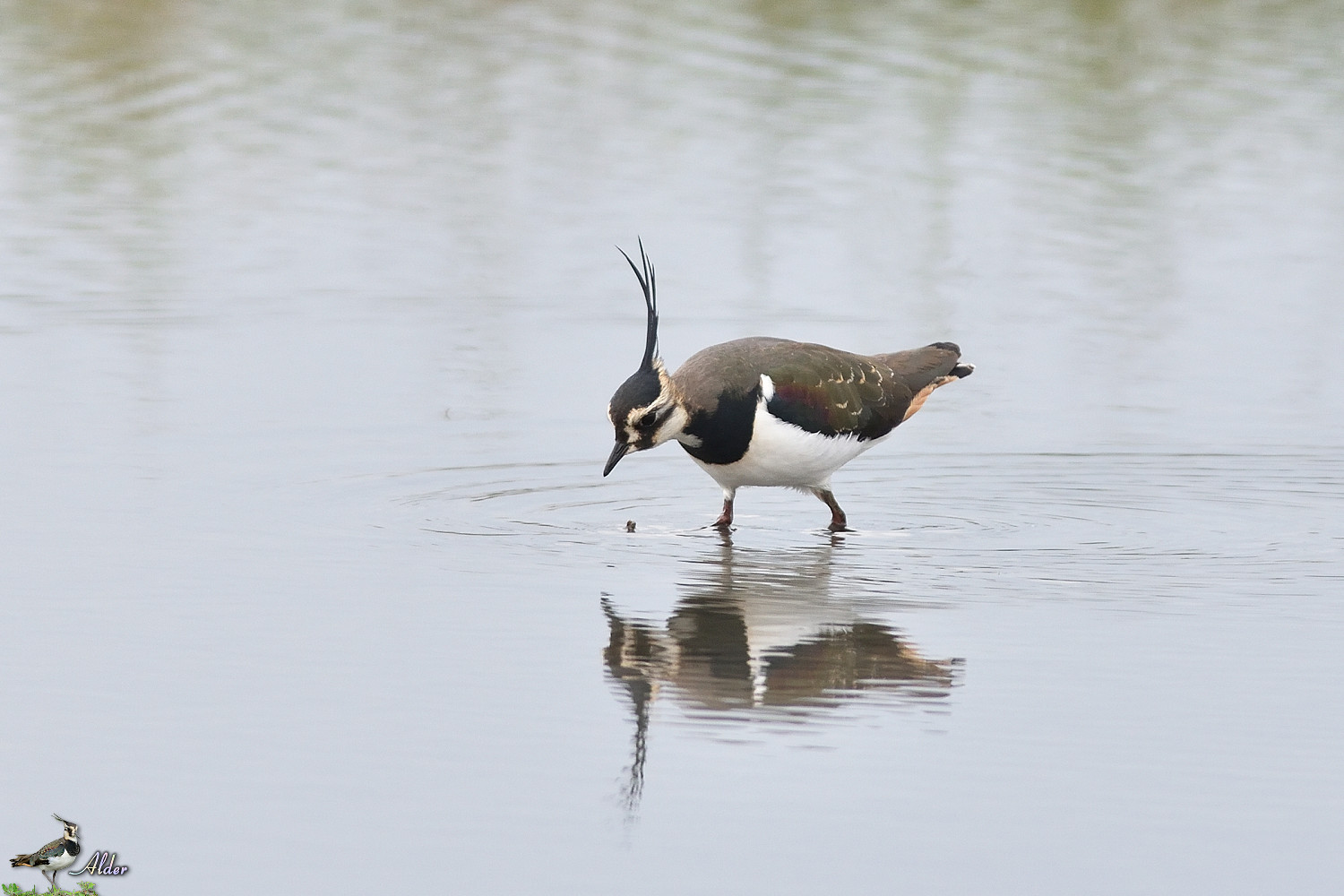 Northern_Lapwing_4838