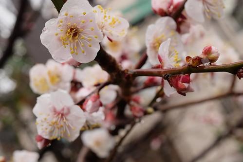ume Japanese apricot 04
