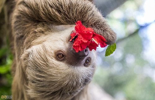 Hoffmann's two-toed sloth Gamboa Wildlife Rescue pandemonio 2017 - 30 | by Eva Blue