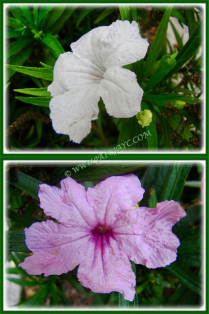 Ruellia brittoniana 'White Katie' & 'Pink Katie' in our tropical garden, 25 Jan 2017
