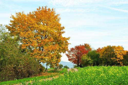 Plankstadt zwischen Mannheim Heidelberg botanischer Spaziergang Bäume Blätter Herbstverfärbung Strauch- und Baumlehrpfad Herbst Oktober 2015 Foto Brigitte Stolle
