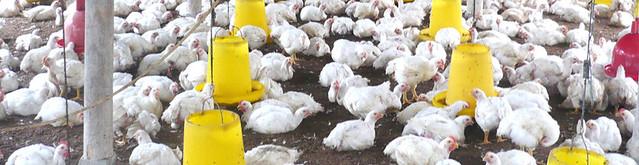 Gambar Peternakan Ayam
