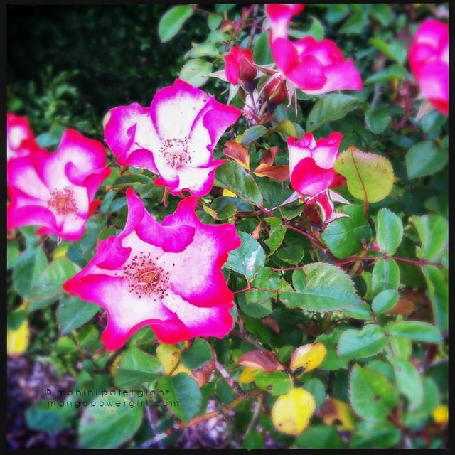 pink & white wild roses