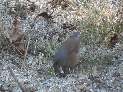 Baird's junco video