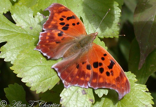 Polygonia interrogationis (Question Mark)