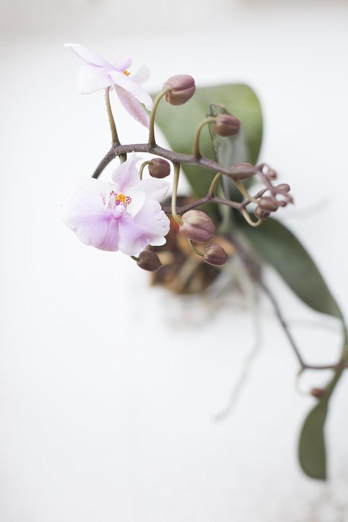 Орхидея расцвела