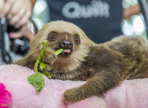 Hoffmann's two-toed sloth Gamboa Wildlife Rescue pandemonio 2017 - 08 | by Eva Blue