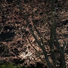 4月7日の夜桜